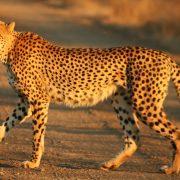 Cheetah_Kruger_Fast_Secure